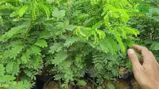 Bibit Tanaman Pohon Asam Jawa Asem Jawa Unggul Bahan Bonsai
