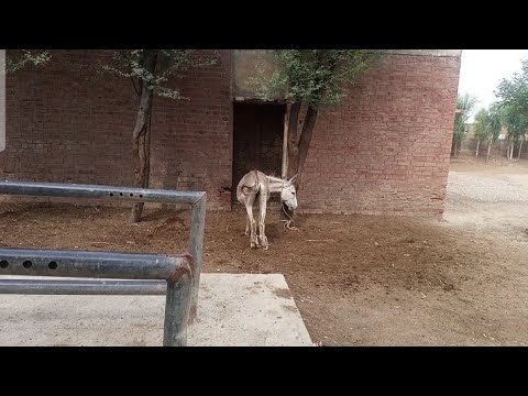 Download Beautiful village animals farm many donkey family in my village june month 2021