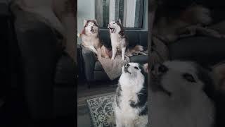 3 Huskies Howling