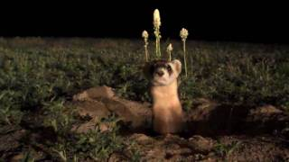 Up close - black-footed ferret