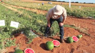 Watermelon Breeder, Matt Kinkade, talks us through latest varieties
