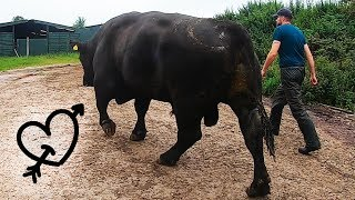 this HUGE BULL has a LOVE HEART TATTOO!! - how to trim bulls feet | The Hoof GP