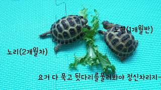 호스필드 육지거북 남매- 노리와 딱지(뒷다리교육)