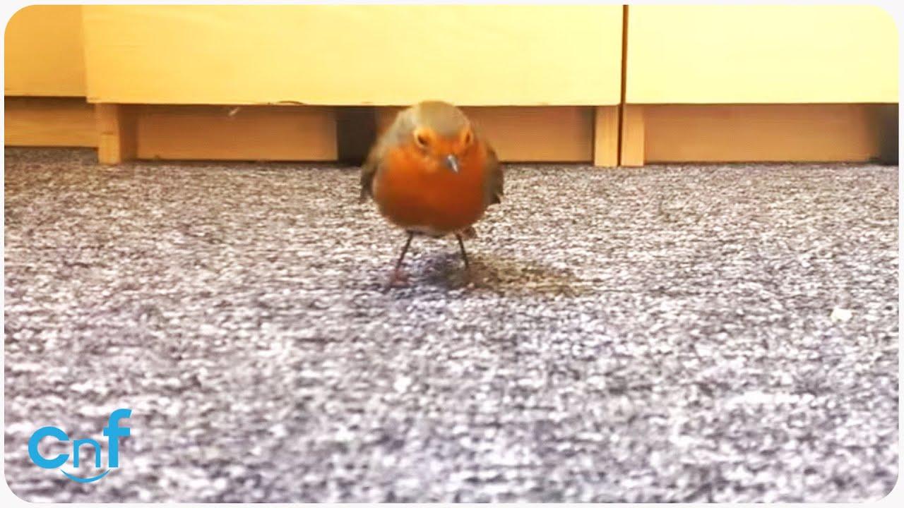 Robin in the Office | Beak Time
