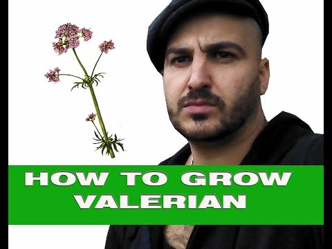 Growing Valerian uses and benefits