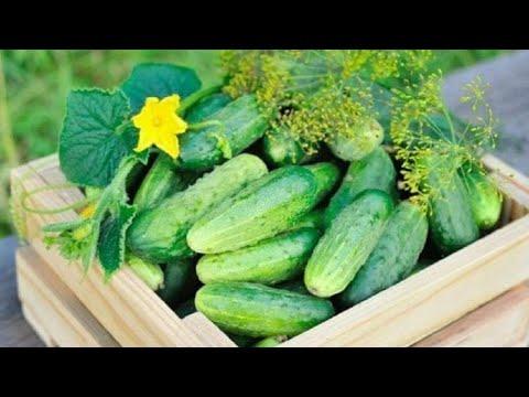 Cucumbers. Выращивание огурцов в теплице