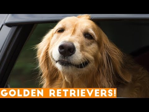 The Funniest & Cutest Golden Retriever Compilation of 2018   Funny Pet Videos