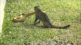 Gato montés ataca a una víbora en los Esteros del Iberá