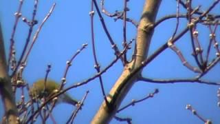 Зеленушка или лесная канарейка. Весна 2015 года.