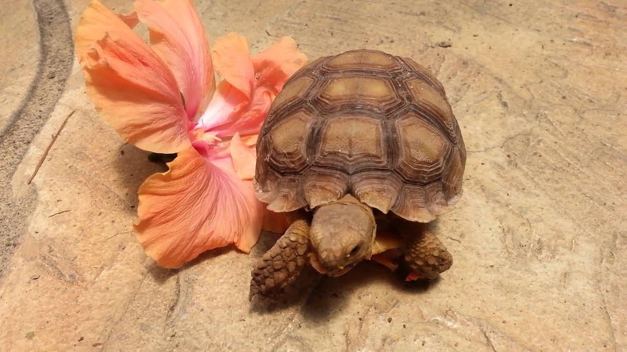 Sulcata Tortoise Eating Hibiscus Flower Youtube