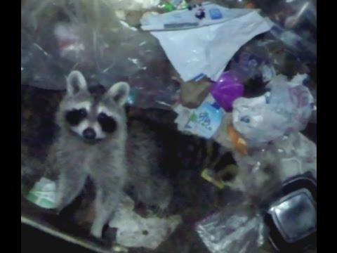 Poor Little Feller RACCOON RESCUE Stuck In Trash!!!