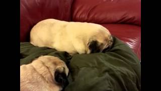 Squeaking Dreaming Pug Loaf