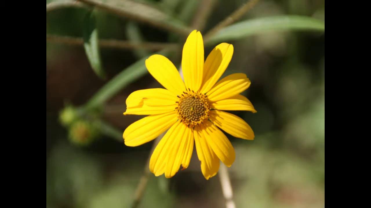 Wildflowers Swamp Sunflower Helianthus Angustifolius Youtube