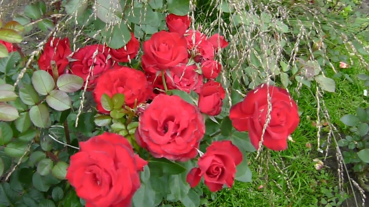 Подкормка МОЛОДЫХ  и взрослых роз-начало! подкормка пионов,примул ,черенков роз,прогулка по саду.
