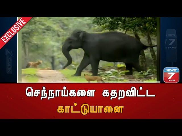 #ExclusiveVisuals | செந்நாய்களை கதறவிட்ட காட்டுயானை | Elephant | Dhole