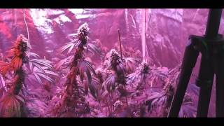 G8 900 Day 60 Flowers and Veg Room Update