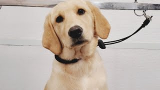 Very Cute Labrador/Golden Retriever Puppy