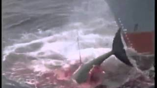 the cruel methods of the whaling Whale's are one of the world's most in an effort to conserve the remaining whale populations and to protect them from the cruel killing methods.