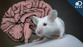 What Can We Learn By Giving A Mouse A Human Brain?