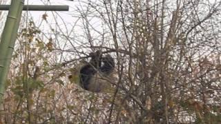 Panda cub Fu Hu high up on a thin branch