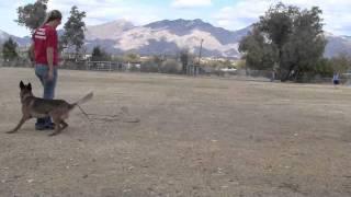 Vegas, The Rescue Malinois - Az Malinois Rescue - Sublime Canine Dog Training