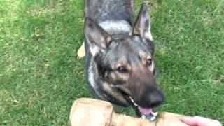 German Shepherd Dog Learning Schutzhund/ipo Dumbbell Retrieve Over Jump
