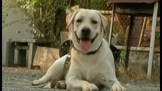 Новая льгота для инвалидов. Собаки-поводыри станут доступнее для слепых людей