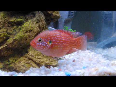 Red Devil Jewel Convict Kribensis Cichlid Corner Aquarium Cichlids Fish Tank