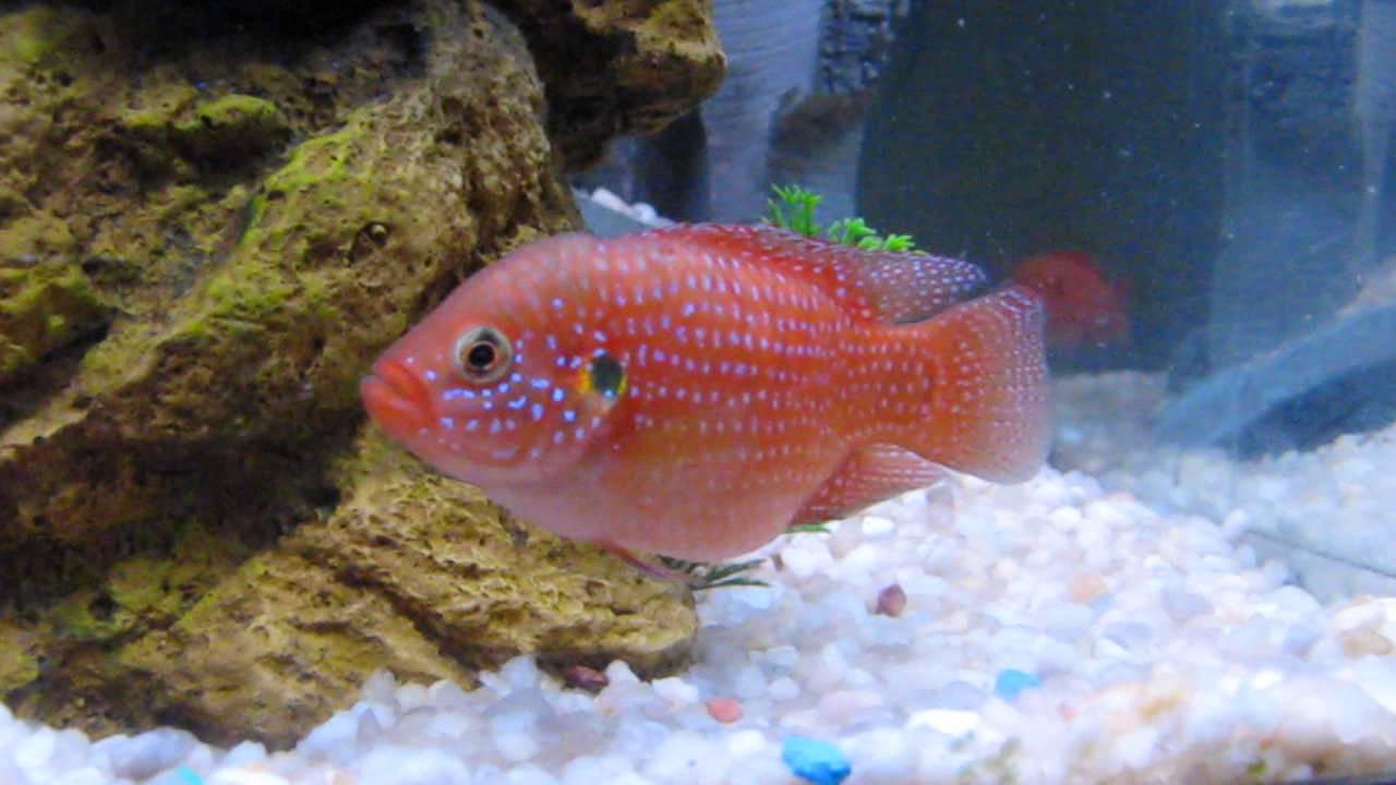Freshwater jewel fish - Red Devil Jewel Convict Kribensis Cichlid Corner Aquarium Cichlids Fish Tank
