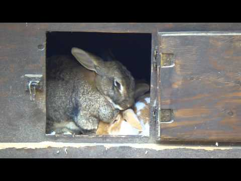 Enormous rabbits at Sequoia Park Zoo