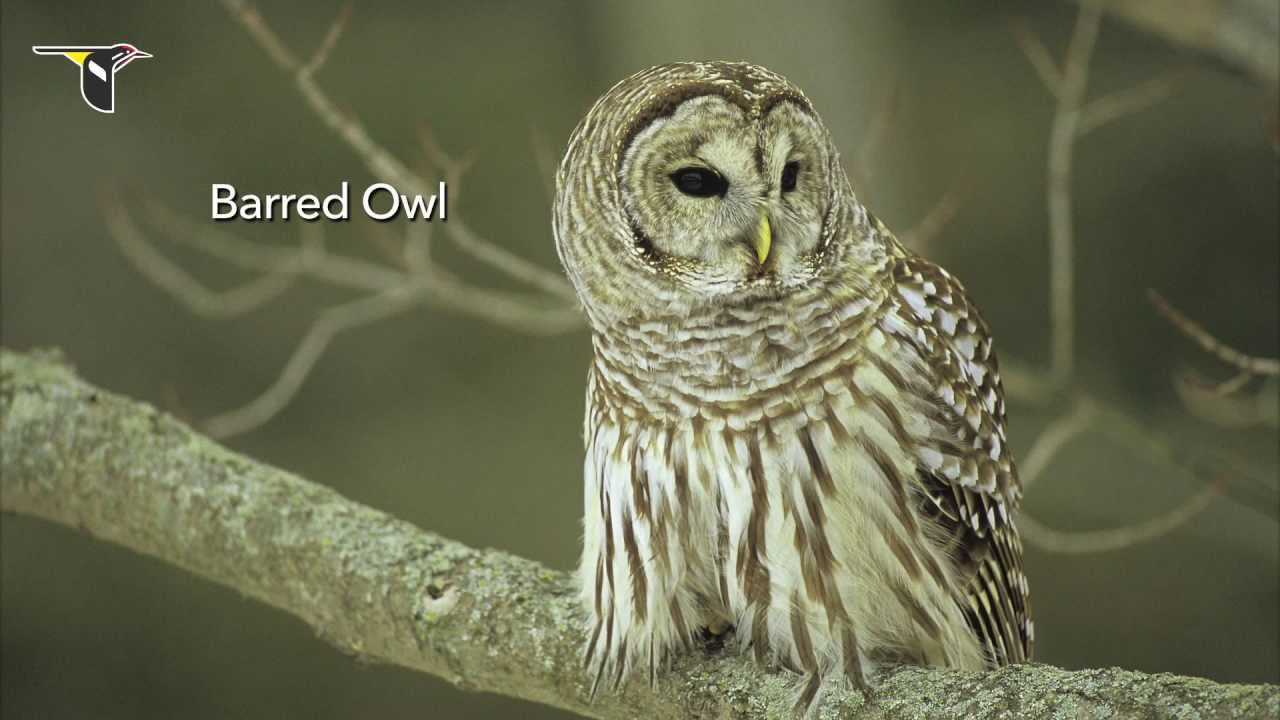 The Distinctive Calls Of Owls A
