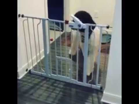 Labradoodle Opens Baby Gates like a BOSS - Dreamydoodles.com