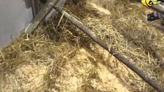 """Применение """"Глубокой подстилки для птиц"""" от LiveBacteria - Подстилка в курятнике"""