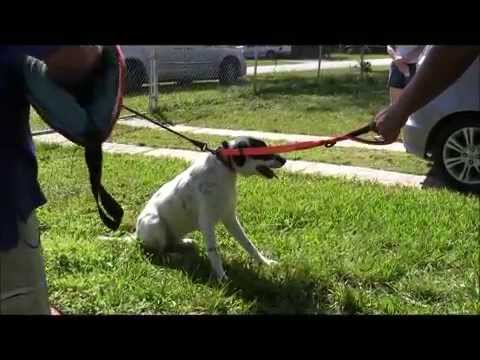 FEAR AGGRESSION- Border Collie severely ATTACKS PEOPLE - RED ZONE ( Part 1 ) short version