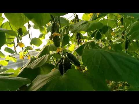 огурец зимой, Кибрия  плодоношение