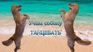 Дрессировка Голдена. Как научить собаку танцевать / Teach your dog to dance