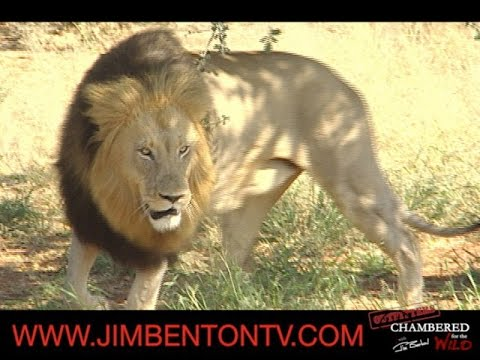 Lion Hunting With Jim Benton In Zambia Chambered For The Wild
