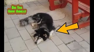 source : scribol.com When police in Israel found a runaway husky, t...