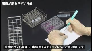 ラボサイト 皮膚刺激性試験プロトコール(7-2) MTT反応後~組織の取出し(組織が崩れやすい場合)