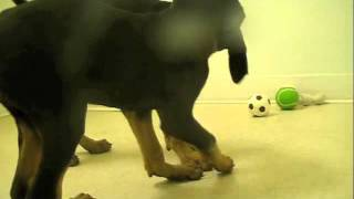 Doberman Pinscher Puppies Playing!