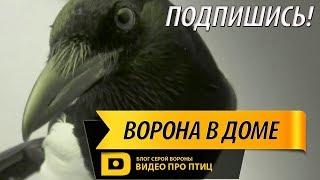 ПРО ПТИЦ.  Сорока воровка, знакомство галки и голубя, Яблочко