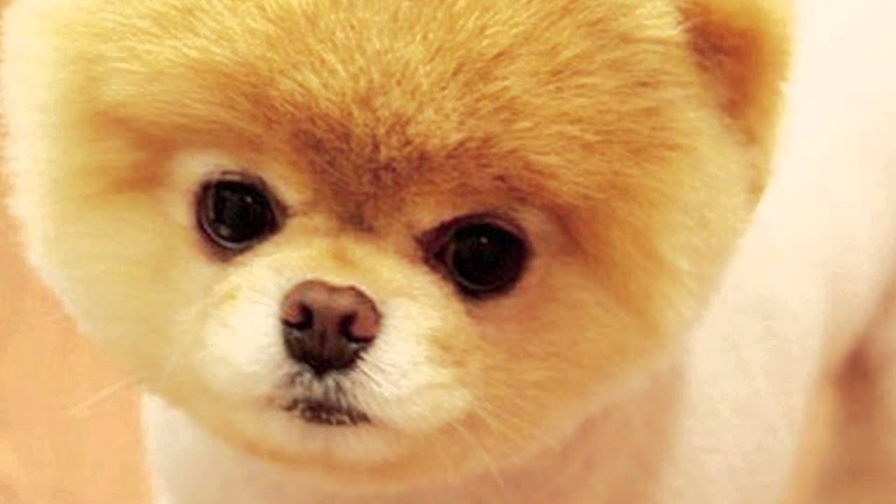 World s Cutest pomeranian