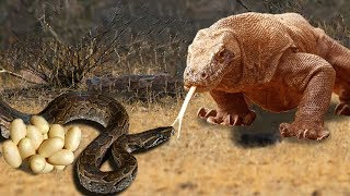 Snake King Cobra Fail to Save Eggs From Dragon Komodo Hunting | Animals Save Other Animals