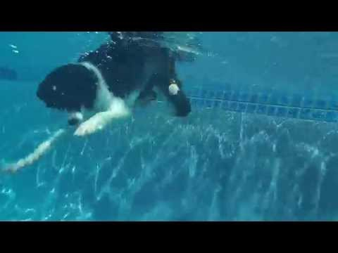 Agility Champion Border Collie Vapor diving underwater in swimming pool for dog toy