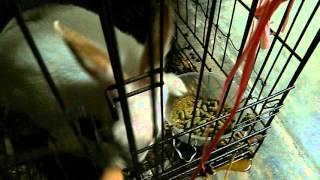 几秒钟带你看我家小bitbit(兔子)🐇无音 thumbnail