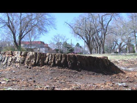 City cuts down hazardous trees in downtown Albuquerque