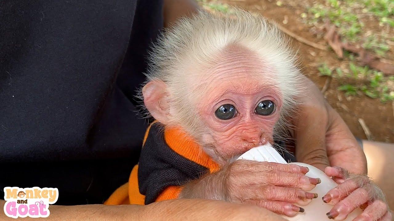 Little monkey craves milk