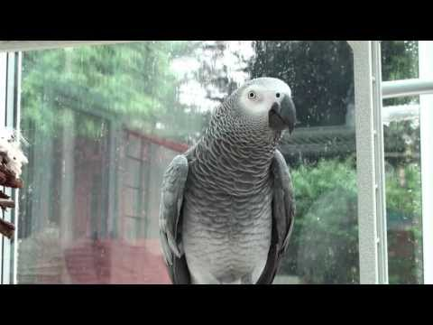 "[Spikie] Talking African Grey Parrot calls ""Scatty Jackie"", ""Stupid Woman"" and ""Scooby-doo"""