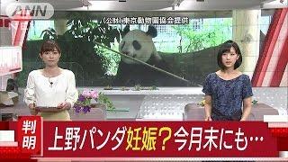 早ければ今月末に出産か 上野のパンダに妊娠の兆候(17/05/18) thumbnail