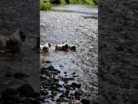 PuppyFinder.com : Puppies playing in the river